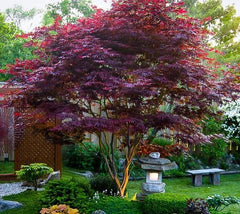 Bloodgood Upright Red Japanese Maple