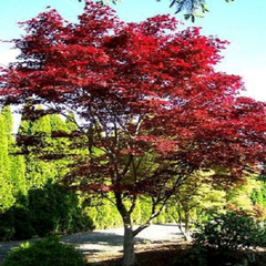 Emperor 1 Red Japanese Maple