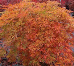 Orangeola Weeping Laceleaf Japanese Maple