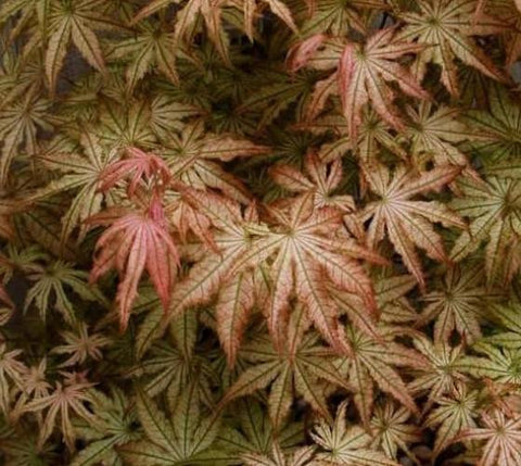 Peaches and Cream Japanese Maple