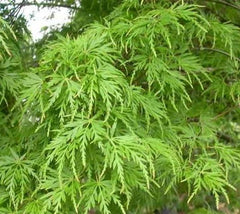Seiryu Upright Laceleaf Japanese Maple