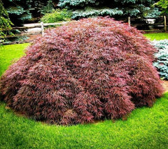 Tamukeyama Weeping Laceleaf Japanese Maple