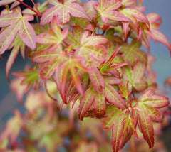 Beni Hime Dwarf Japanese Maple