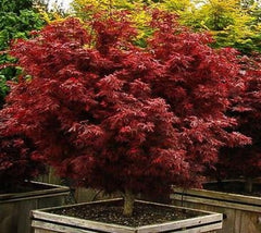 Shaina Dwarf Japanese Maple