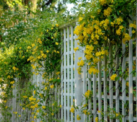 Yellow Carolina Jasmine Vine