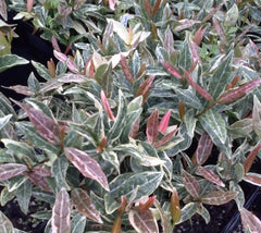 Tri Color Asian Jasmine Vine trachelospermum asiaticum 'Tricolor'