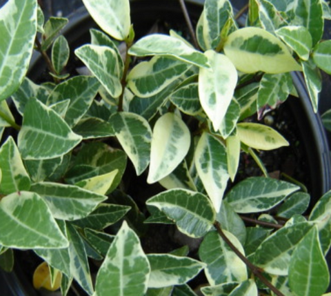 Variegated Asian Jasmine Vine