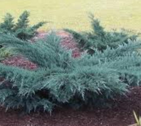 Angelica Blue Spreading Juniper