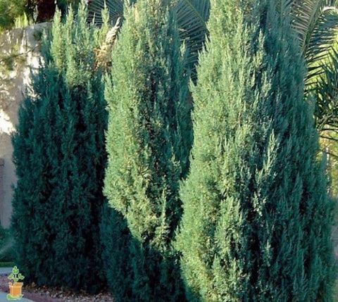 Blue Point Upright Juniper Tree