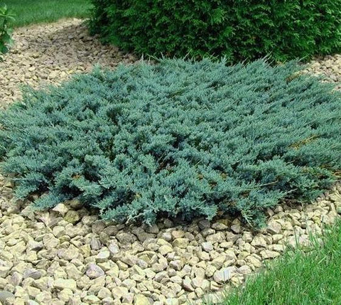 Blue Sargent Spreading Juniper