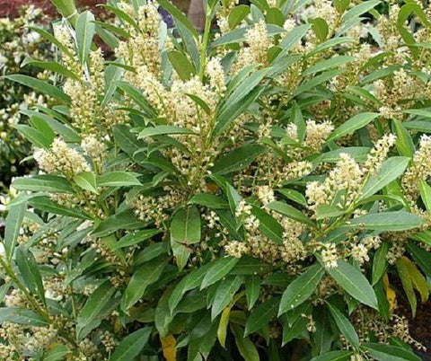 Skip Cherry Laurel ( schip )