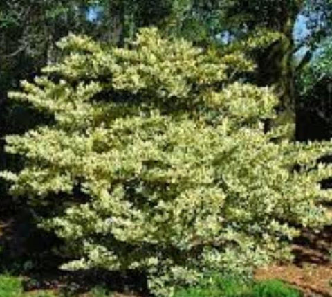 Jack Frost Ligustrum ( variegated privet )