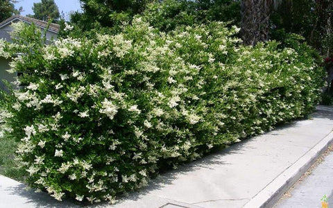 Recurve Ligustrum ( wavy leaf privet )