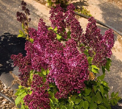 Burgundy Queen French Lilac ( syringa )
