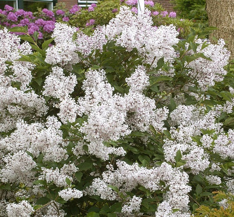 Madame Lemoine White French Lilac
