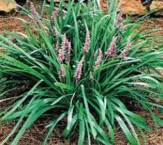 Big Blue Liriope Monkey Grass New Life Nursery
