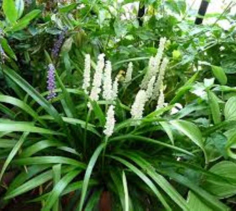 Monroe's White Liriope ( monkey grass )