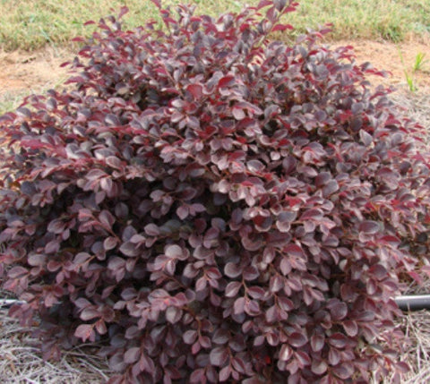 Crimson Fire™ Dwarf Loropetalum