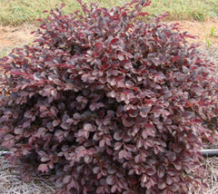 Crimson Fire Dwarf Loropetalum