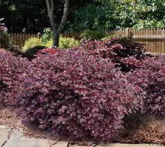 Red Diamond Compact Loropetalum New Life Nursery