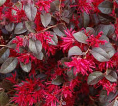 Ever Red® Fringe Flower Loropetalum Loropetalum chinense 'Chang Nian Hong'