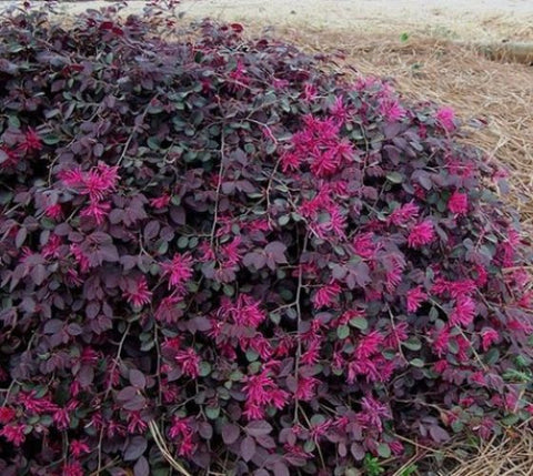 Purple Pixie® Weeping Loropetalum