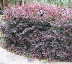 Ruby Loropetalum ( chinese fringe )