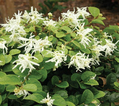 Emerald Snow® Semi-dwarf Loropetalum