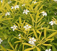 Goldfingers Mexican Orange Blossom