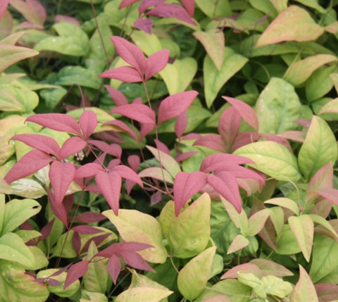 Blush Pink Nandina Heavenly Bamboo