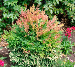 Gulf Stream Nandina nandina domestica 'gulf stream' heavenly bamboo