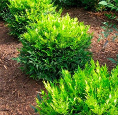 Lemon Lime Nandina Heavenly Bamboo