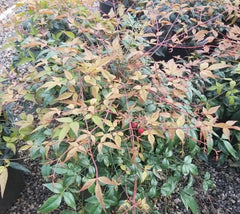 Harbor Belle Nandina ( heavenly bamboo )
