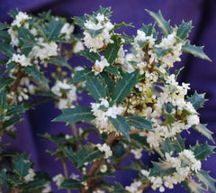 Fragrant Princess Dwarf Tea Olive ( osmanthus )