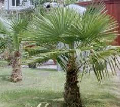 Windmill Palm ( trachycarpus fortunei )