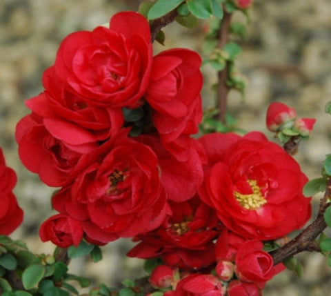 Double Take Scarlet™ Storm Flowering Quince