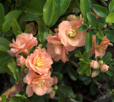 Cameo Flowering Quince ( chaenomeles )