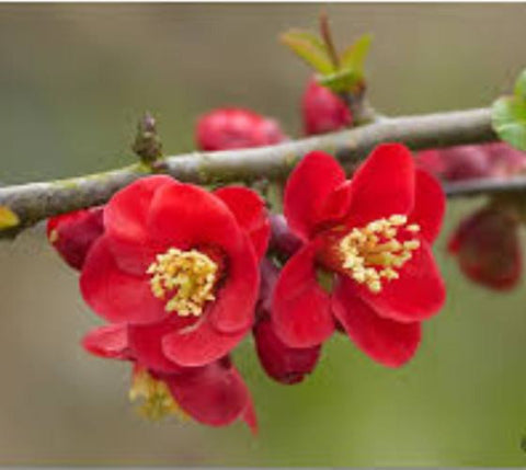 Crimson and Gold Flowering Quince ( chaenomeles )