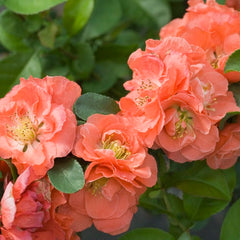 Double Take Peach™ Flowering Quince