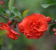 "Orange Storm Flowering Quince Chaenomeles ""orange storm"""
