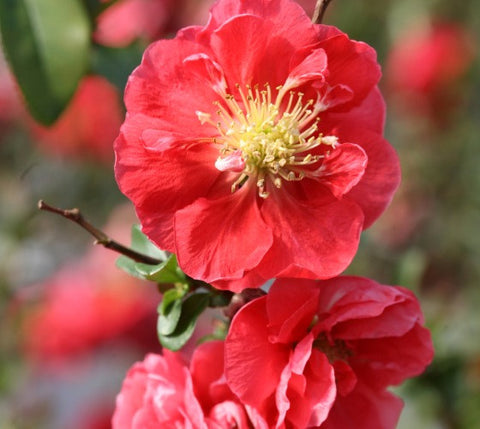 Double Take Pink™ Storm Flowering Quince