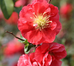 Pink Storm Double Take Flowering Quince