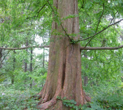 Dawn Redwood Tree Metasequoia glyptostroboides