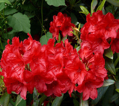 Cherries and Merlot Red Rhododendron
