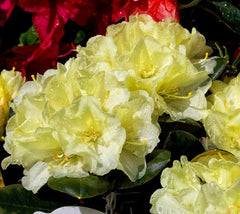 Lemon Dream Rhododendron rhododendron lemon dream