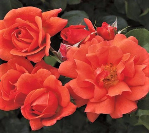 Above All™ Orange Climbing Rose