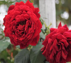 All Ablaze™ Red Climbing Rose