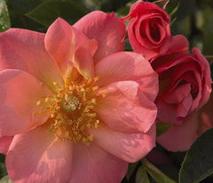Easy Elegance® All The Rage Rose