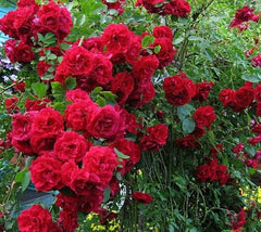 Blaze Improved™ Red Climbing Rose