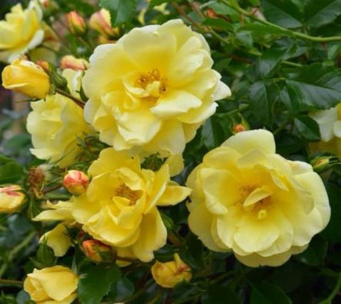 Carefree Sunshine Shrub Rose